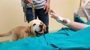 L'incontro tra Enrico, ricoverato in terapia intensiva all'ospedale di Jesi, e il suo Labrador Kyra (foto Ferreri)