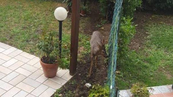 Ancona, sorpresa a Pasqua, nel giardino del condominio arriva un capriolo