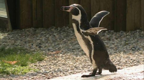 Uno dei pinguini ospiti del Parco Le Cornelle