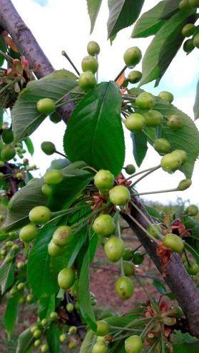 Gli alberi già in frutto hanno subito gravi danni (foto Ravaglia)