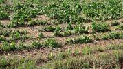 Danni notevoli all'agricoltura (foto Ravaglia)