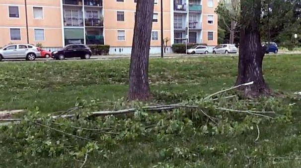 L'albero caduto a Cesano