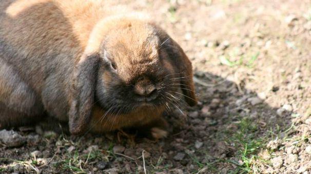 Coniglio in una foto di repertorio (L.Gallitto)