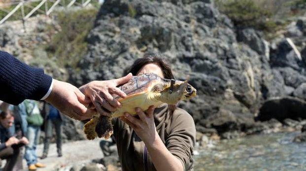 Liberazione della tartaruga Guelfa a Talamone
