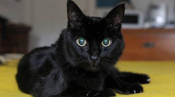 Uno splendido gatto nero