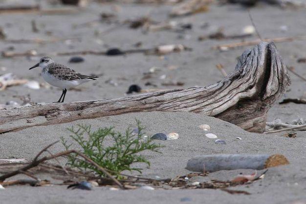 Il fratino è un piccolo e fragile uccello inserito tra le specie a rischio di estinzione (foto Zani)