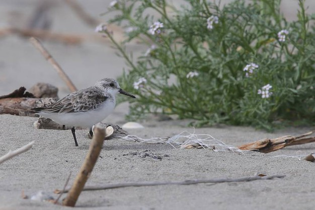Queste zone diventano così degli isolotti per la nidifcazione (foto Zani)
