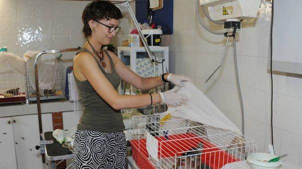 IMPEGNO Una volontaria nel centro Lipu di Magenta dove sono ricoverate  diverse specie