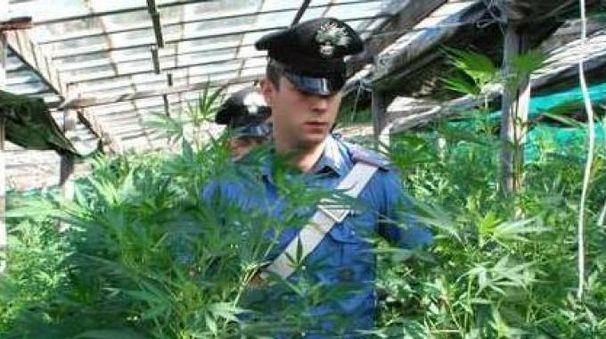 Il sequestro di una piantagione di marijuana