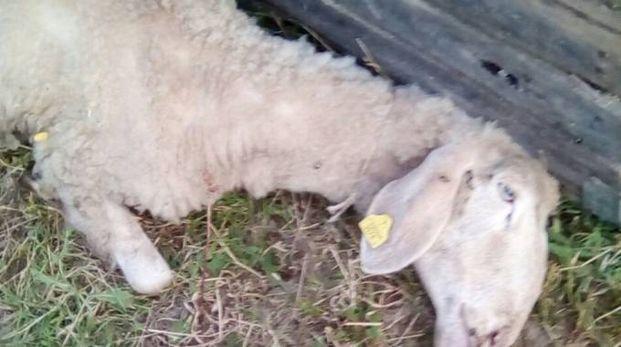 Petritoli, i lupi tornano a sbranare pecore