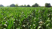 Le piante di mais che formano il labirinto (Foto Scardovi)