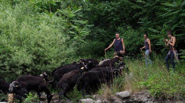 Un momento della transumanza: le pecore vengono portate sui monti dove fa più fresco (foto Massimo Pasquali)