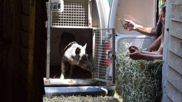 Cervia, due cinghiali trovano casa al parco naturale