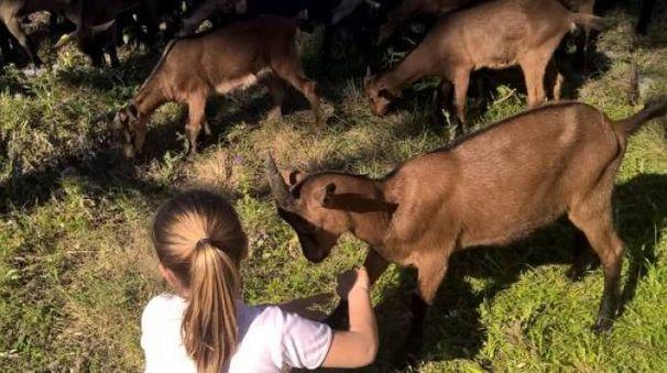 Le capre sull'Isola di Capraia