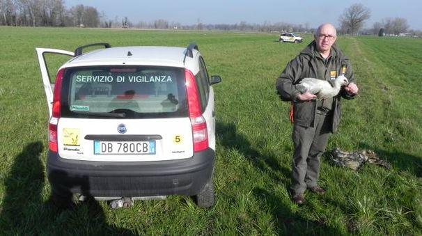 Una cicogna del Parco Adda sud con una guardia volontaria dell'ente