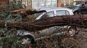 L'albero è stato sradicato  a causa del forte vento