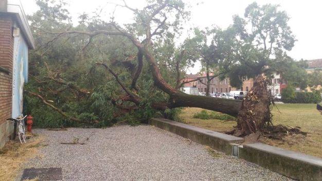 Un albero sradicato