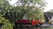 Un albero caduto ai Lidi (foto Bellini)