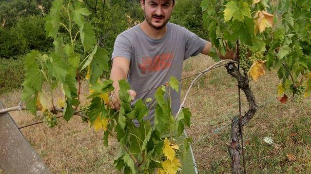 A SECCO Un agricoltore nella vigna colpita dalla siccità