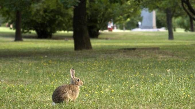 Coniglio nel Parco di Forlì