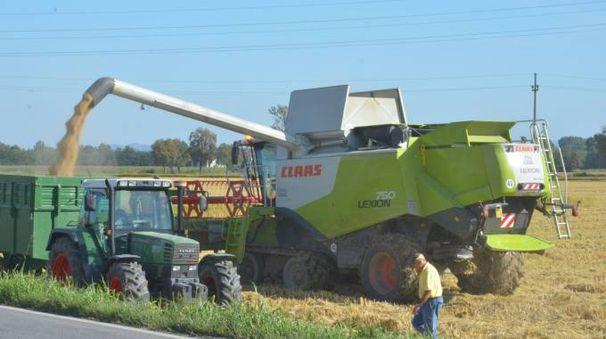Il taglio del riso nei campi della provincia di Pavia