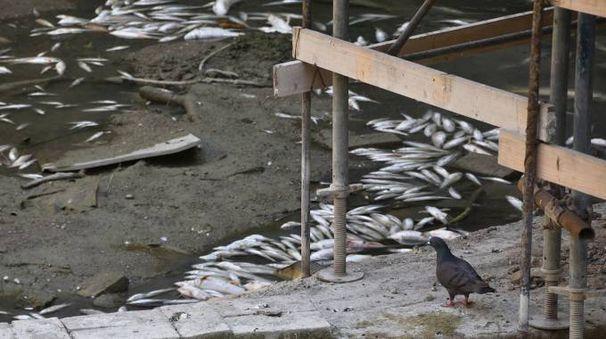 Pesci morti nel fiume Bidente a Meldola