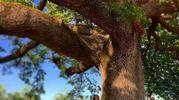 Il ramo crollato della Quercia delle Checche