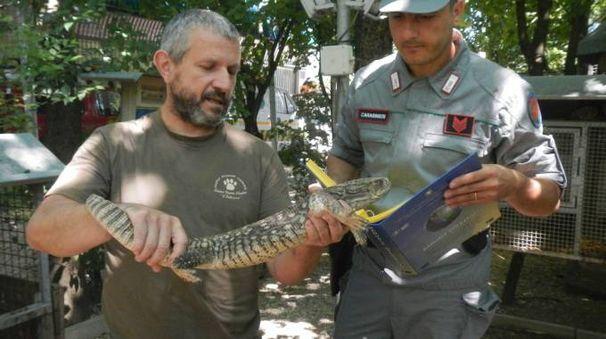 Il varano recuperato dai volontari del Pettirosso e dalle Guardie forestali
