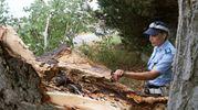 L'enorme albero caduto nelle campagne della frazione di Sala di Cesenatico (Ravaglia)