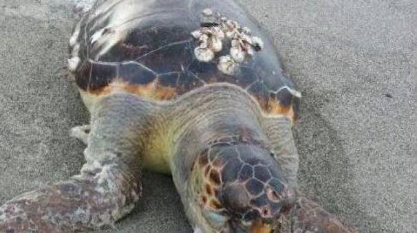 La tartaruga marina, Caretta Caretta, trovata morta sulla spiaggia di Poveromo