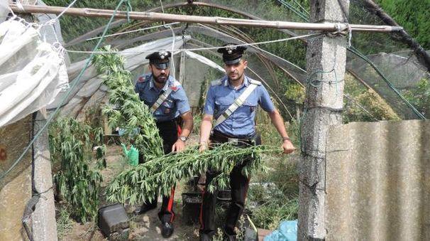 Fiesso, coltiva marijuana nell'orto. Arrestato 44enne