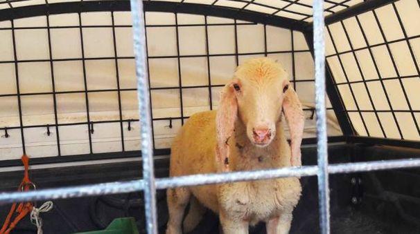 L'animale recuperato grazie alla prontezza di una Guardia per l'ambiente ( De Pascale)