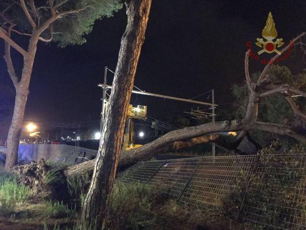 L'albero caduto a Rosignano