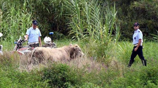 Il toro fuggito (foto Nizza)