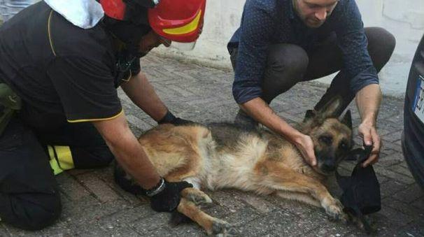 Il pastore tedesco salvato dai vigili del fuoco