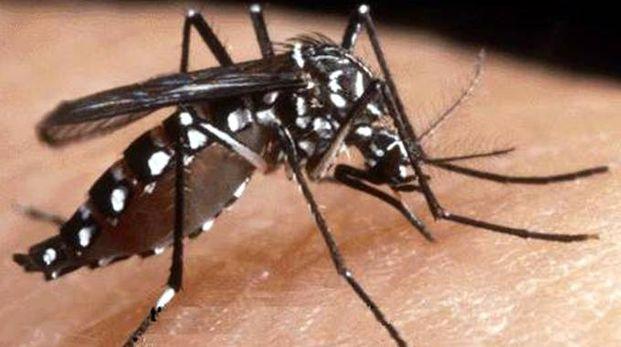Una zanzara tigre responsabile della chikungunya (Ansa)