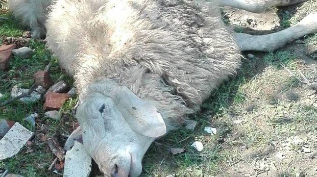 Uno degli animali assaliti e uccisi dal lupo