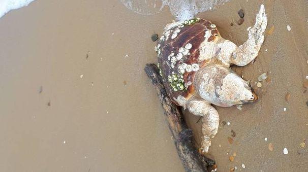 Una delle due tartarughe senza vita sulla spiaggia di ponente