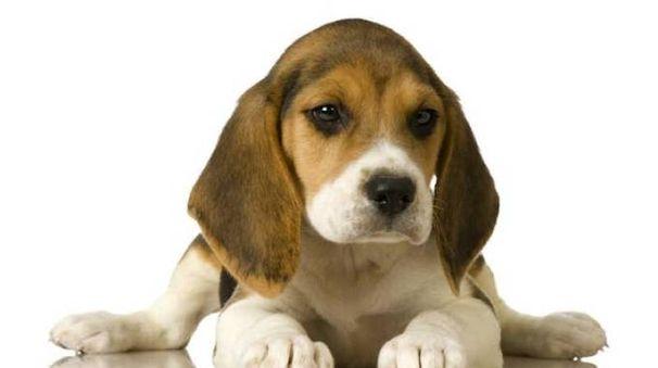Beagle in una foto LNDC