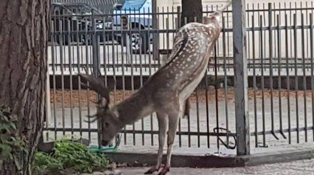 Pinarella di Cervia, daino si trafigge in una recinzione