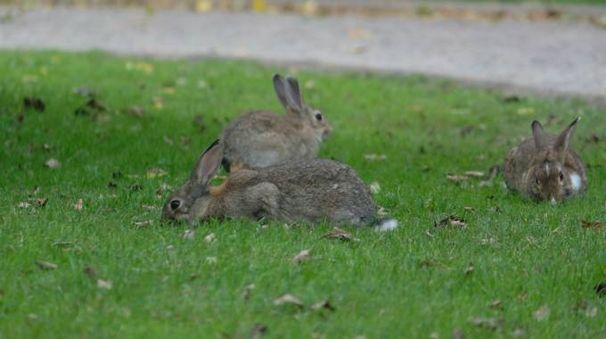 I conigli al parco urbano, il problema del sovraffollamento sta crescendo (Frasca)
