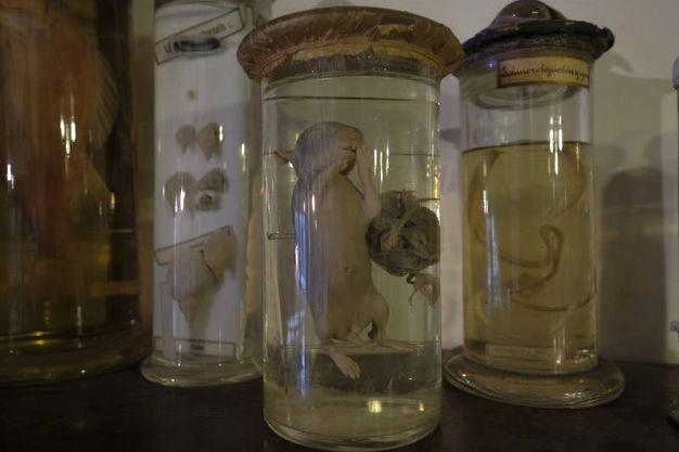 Brera, l'antiquaria misteriosa tra teschi e animali riassemblati