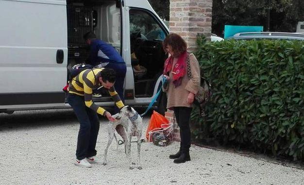 I dodici levrieri sono giunti in Italia assieme ai volontari spagnoli (Foto Scardovi)