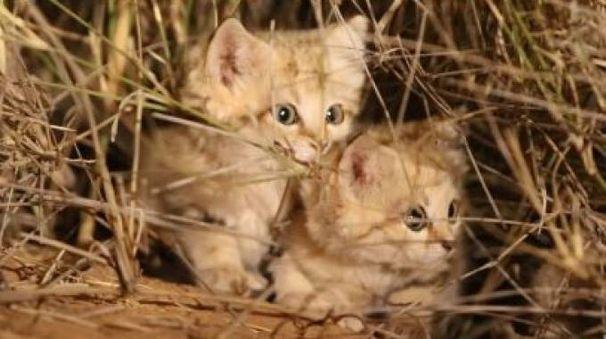 I gatti delle sabbie ripresi per la prima volta