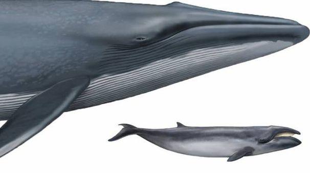 Confronto tra la Balenottera azzurra e la piccola Caperea disegnati alla stessa scala