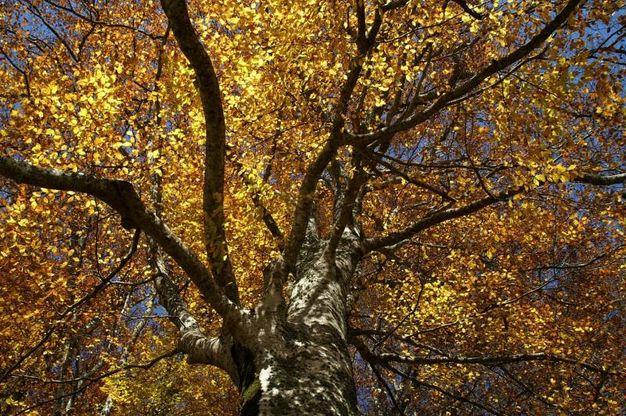 Le ultime due settimane di ottobre e le prime due di novembre sono il periodo ideale per assistere allo straordinario spettacolo del 'fall  foliage' nel Parco delle Foreste Casentinesi (foto Giordano Giacomini)