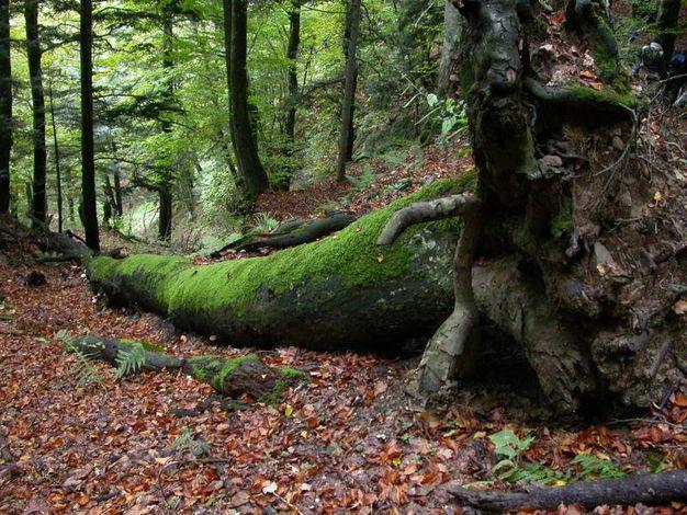 I faggi di Sasso Fratino sono come capsule del tempo che risalgono addirittura al Rinascimento e alle foreste del Granducato (foto Nevio Agostini)