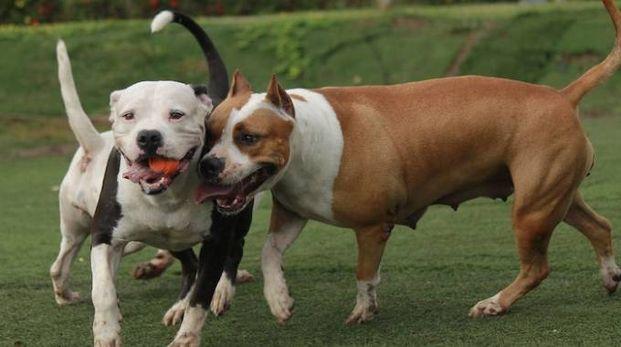 CONTROLLI L'inchiesta è partita grazie  ai controlli medici effettuati durante un concorso canino sulle colline reggiane  I casi sospetti riguardano  in prevalenza cani di razza Pitbull e American stafforshire terrier