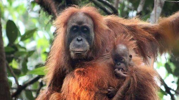 Orango di Tapanuli, soli 800 esemplari (Afp)