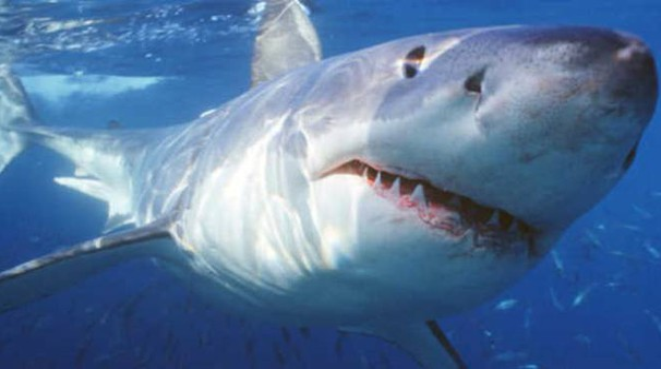Una foto di repertorio di uno squalo bianco